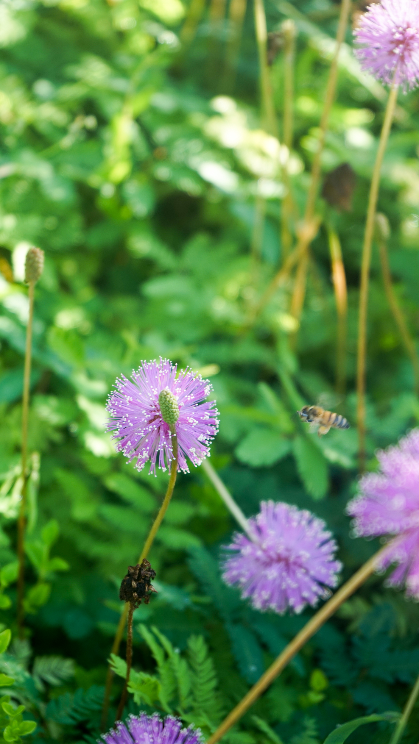 Plant Creations Nursery Sunshine Mimosa (Mimosa strigillosa)