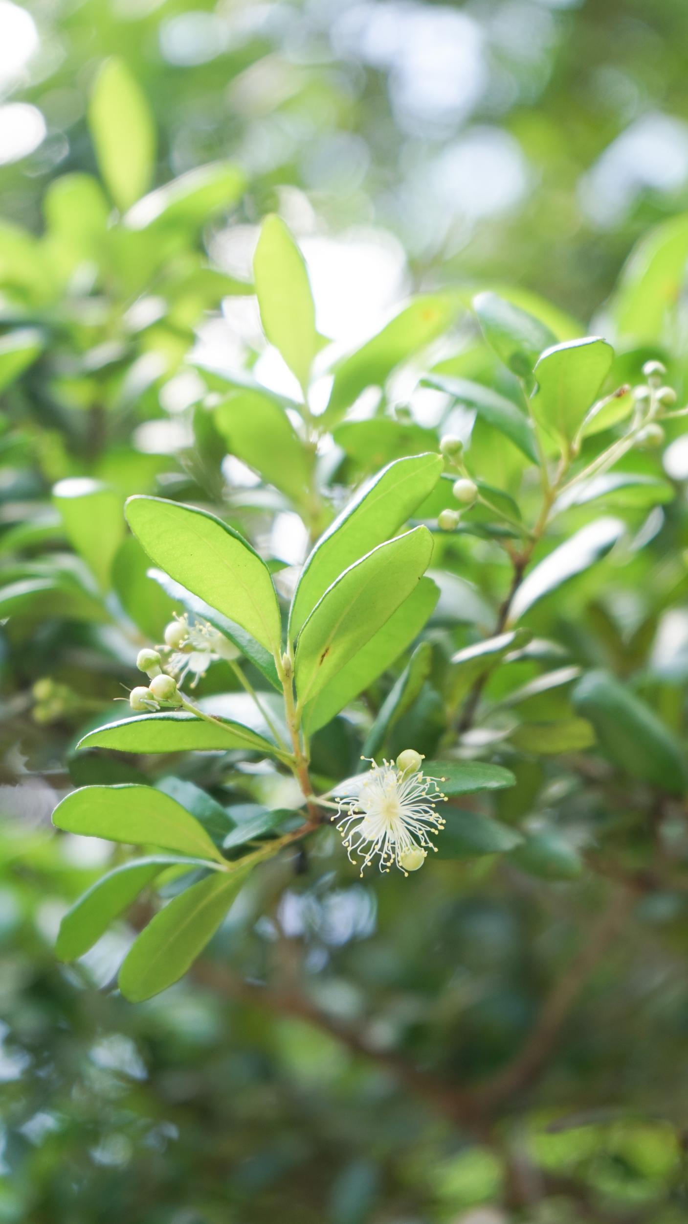 Plant Creations Nursery Simpson Stopper Myrcianthes fragrens