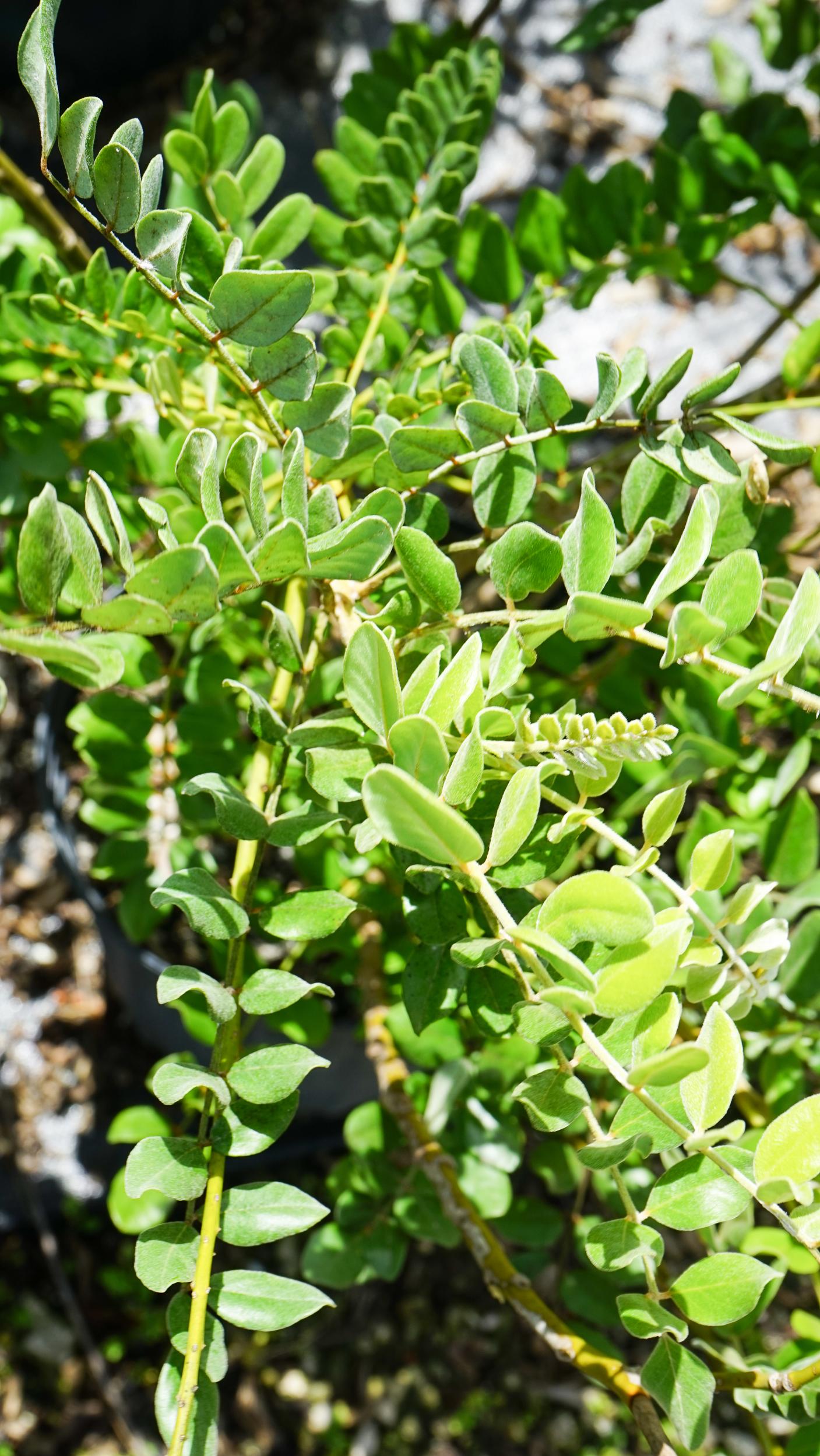 Plant Creations Nursery Necklace Pod (Sophora tomentosa)