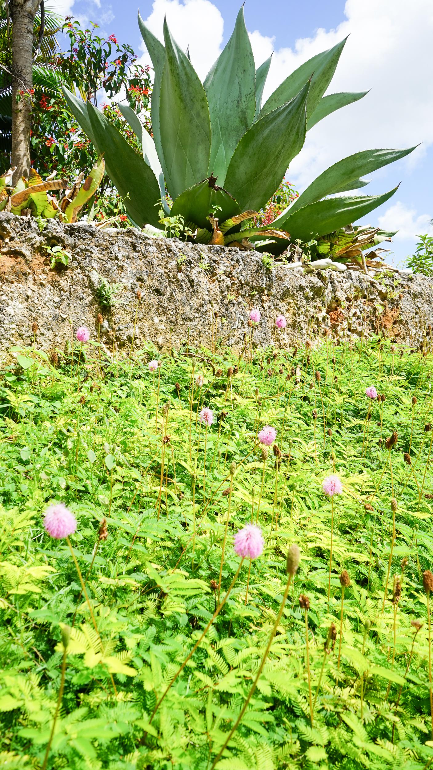 Plant Creations Nursery Sunshine Mimosa Mimosa strigillosa