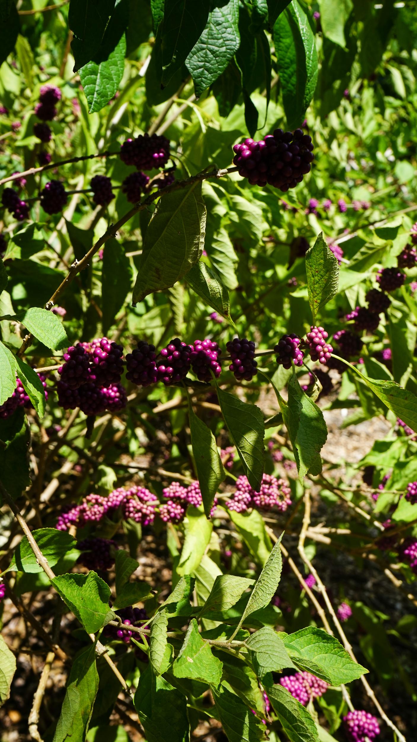 Plant Creations Nursery American Beautyberry Callicarpa americana
