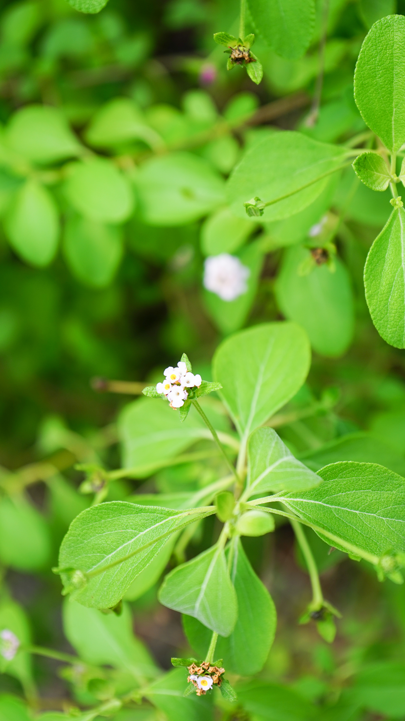 Plant Creations Nursery Wild Sage Lantana involucrata