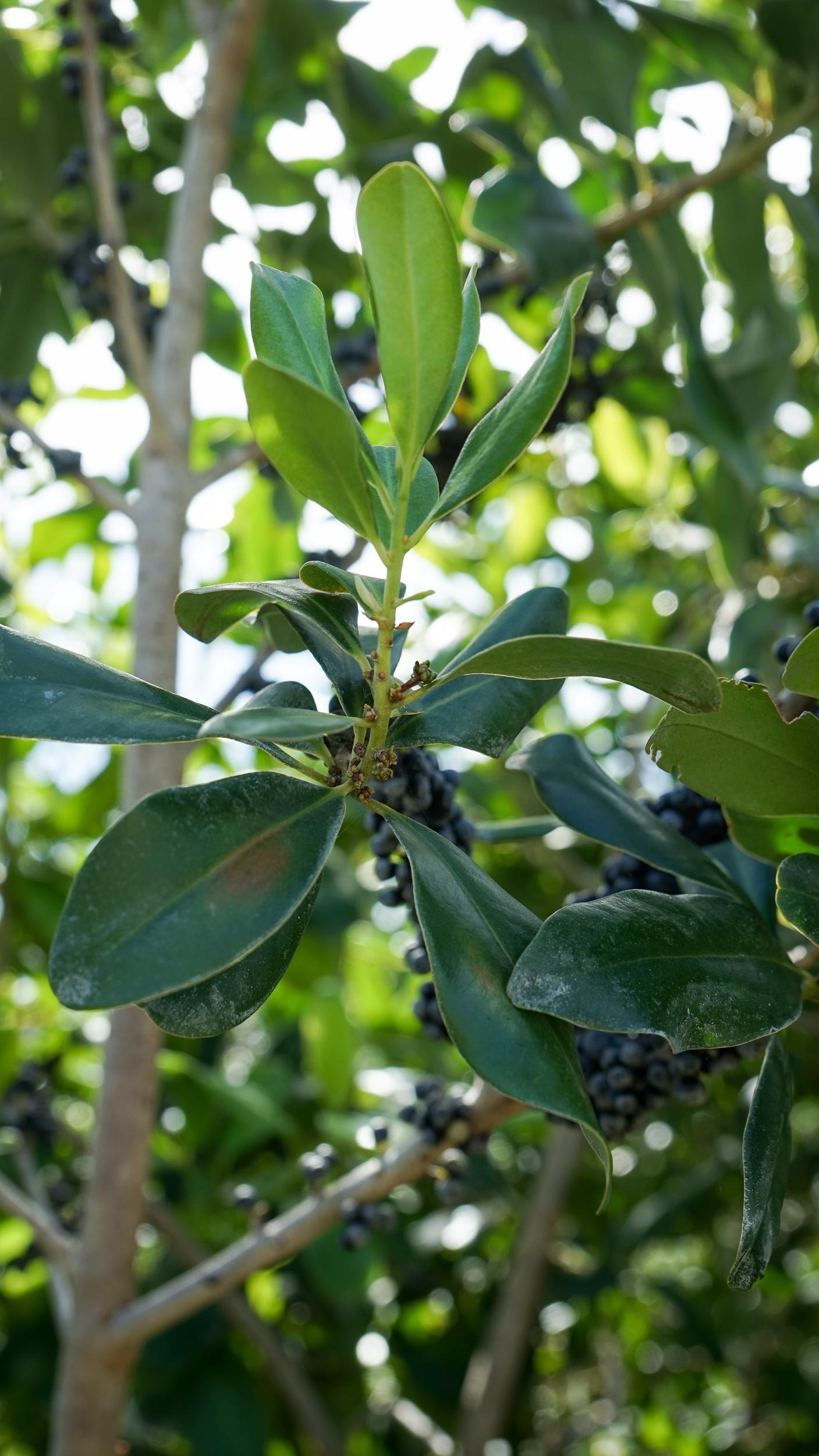 Plant Creations Inc. Nursery  Myrsine Cubana Rapanea punctata