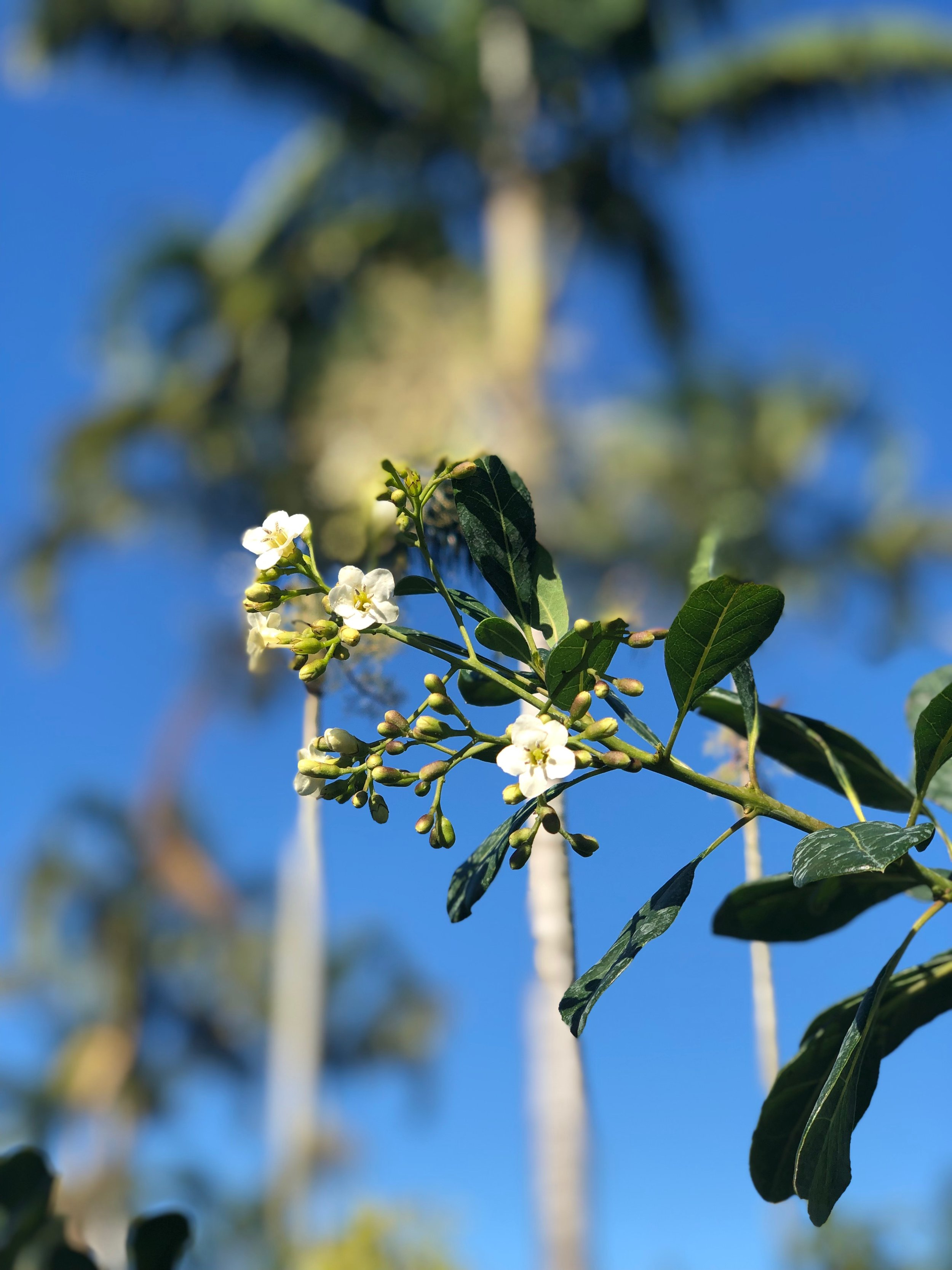 bourreria succulenta bahama strongbark plant creations inc..JPG