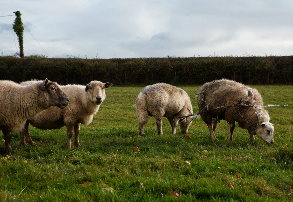 Bramble Sheep among the flock