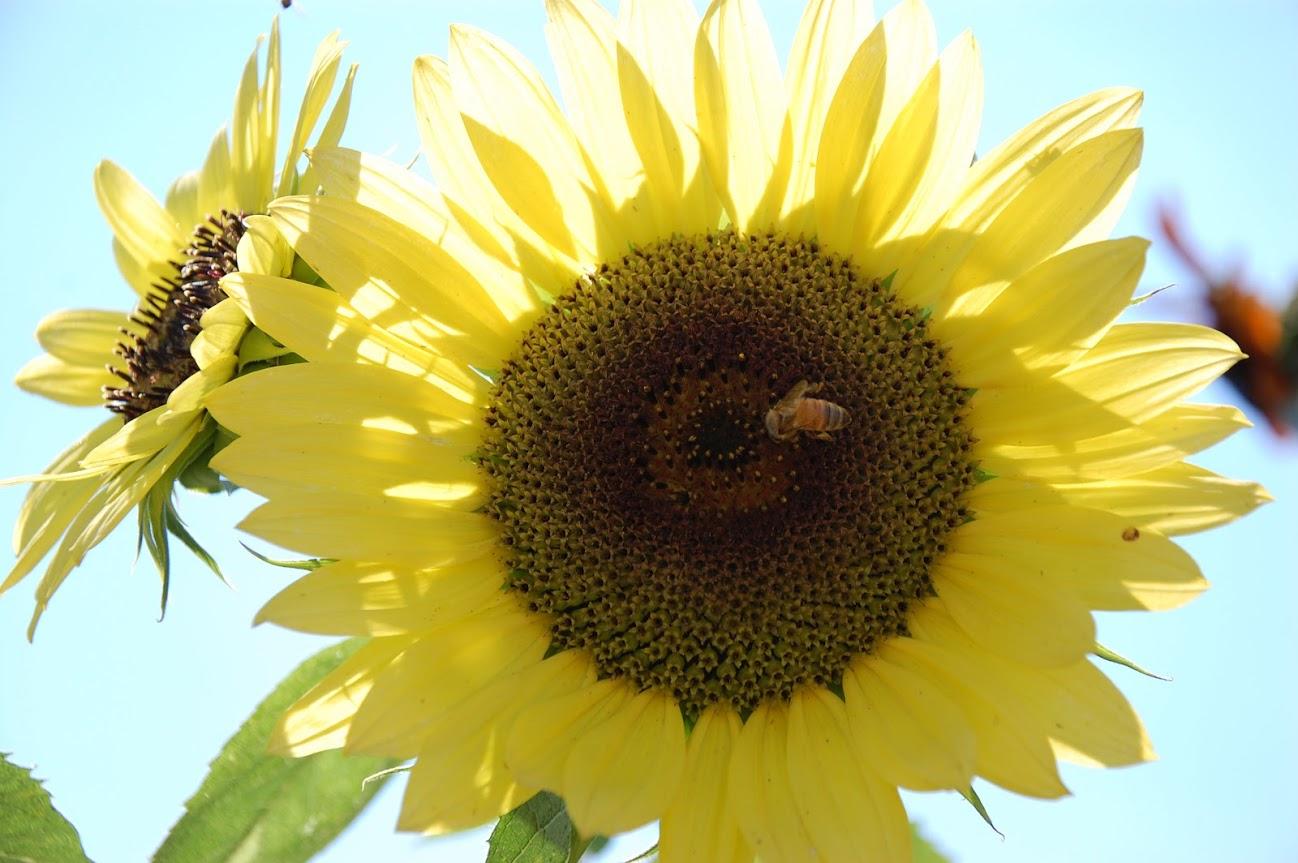 HGSA flower trials sunflowers.JPG
