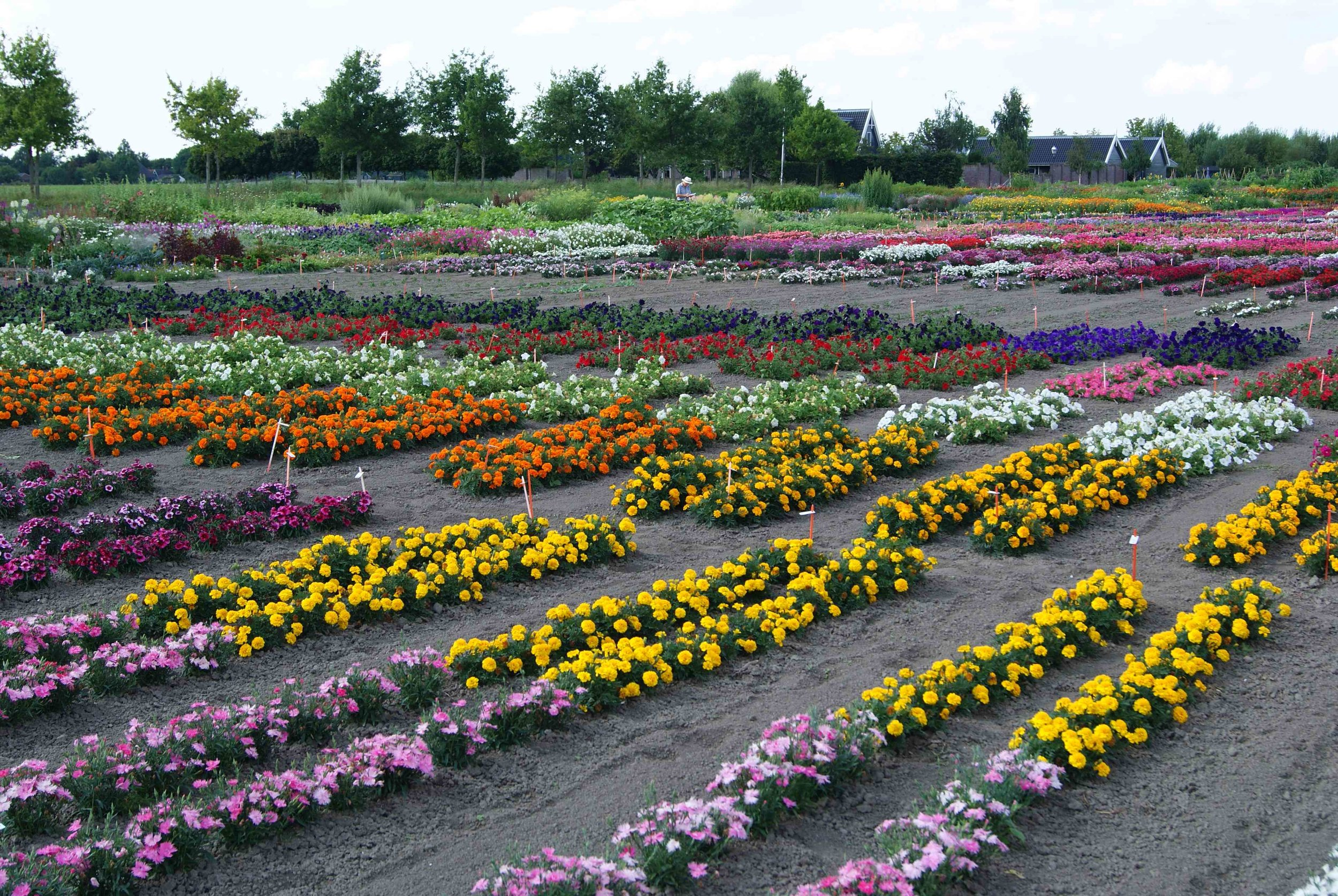 Hem Zaden produces over 3000 plant varieties every year, and exports to over 70 countries.