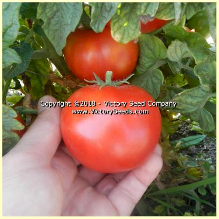 Victory tomato_clare-valley-red_fruit.jpg
