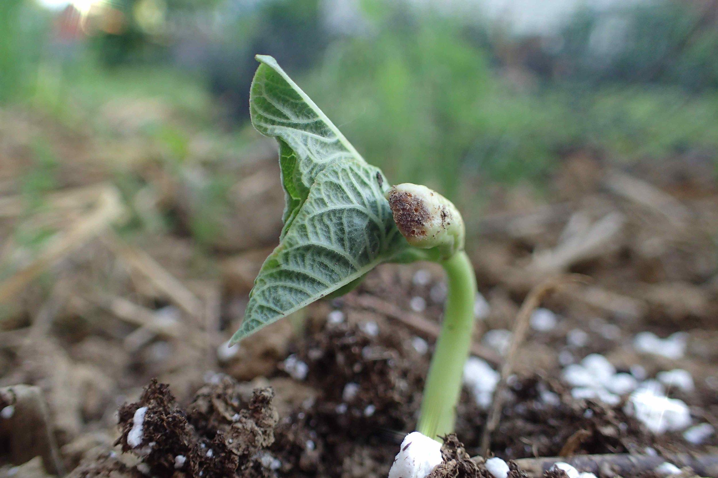 bean seedling copy.jpg
