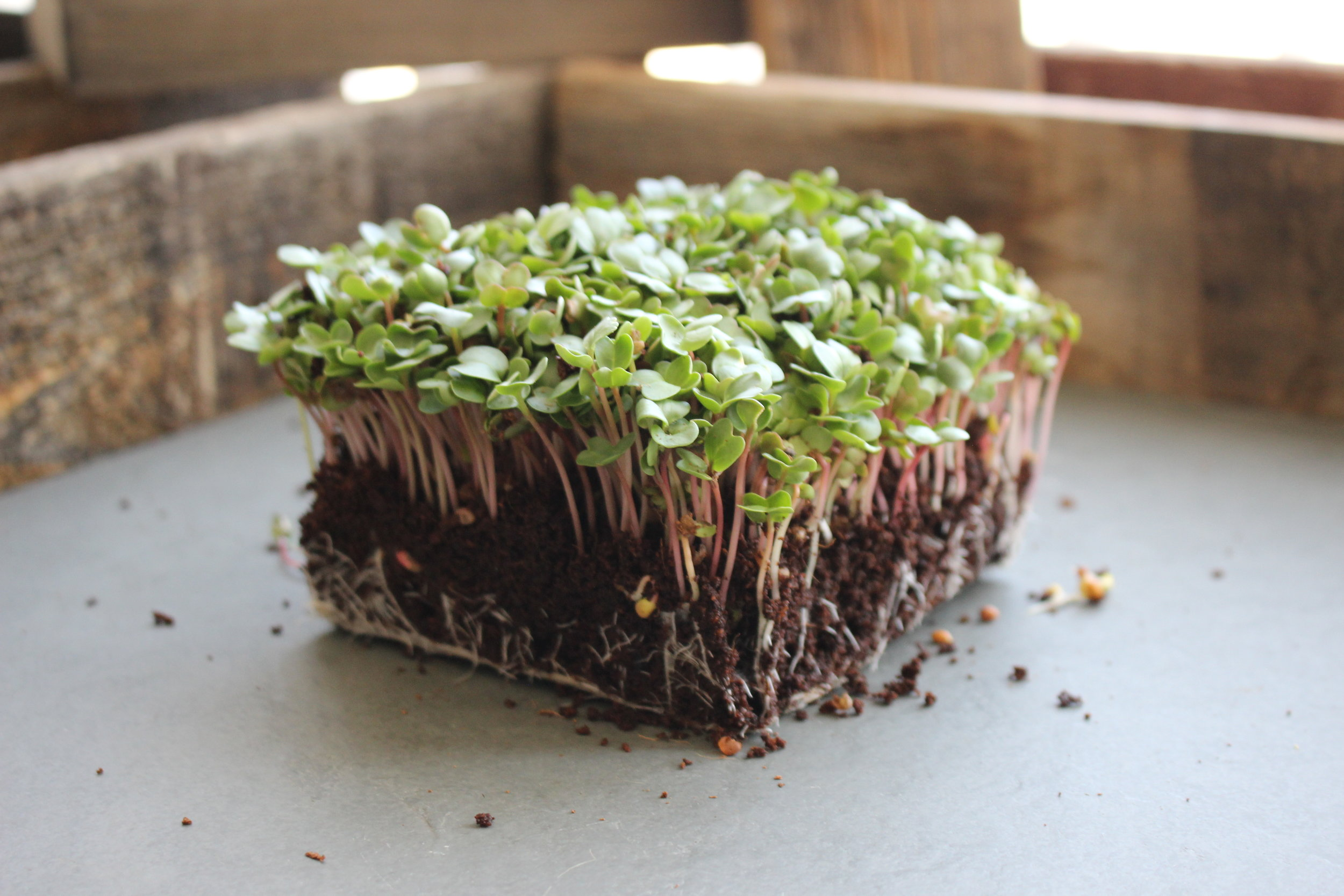 Radish microgreens grow to a harvestable size very quickly. They add a spicy kick to salads and sandwiches.