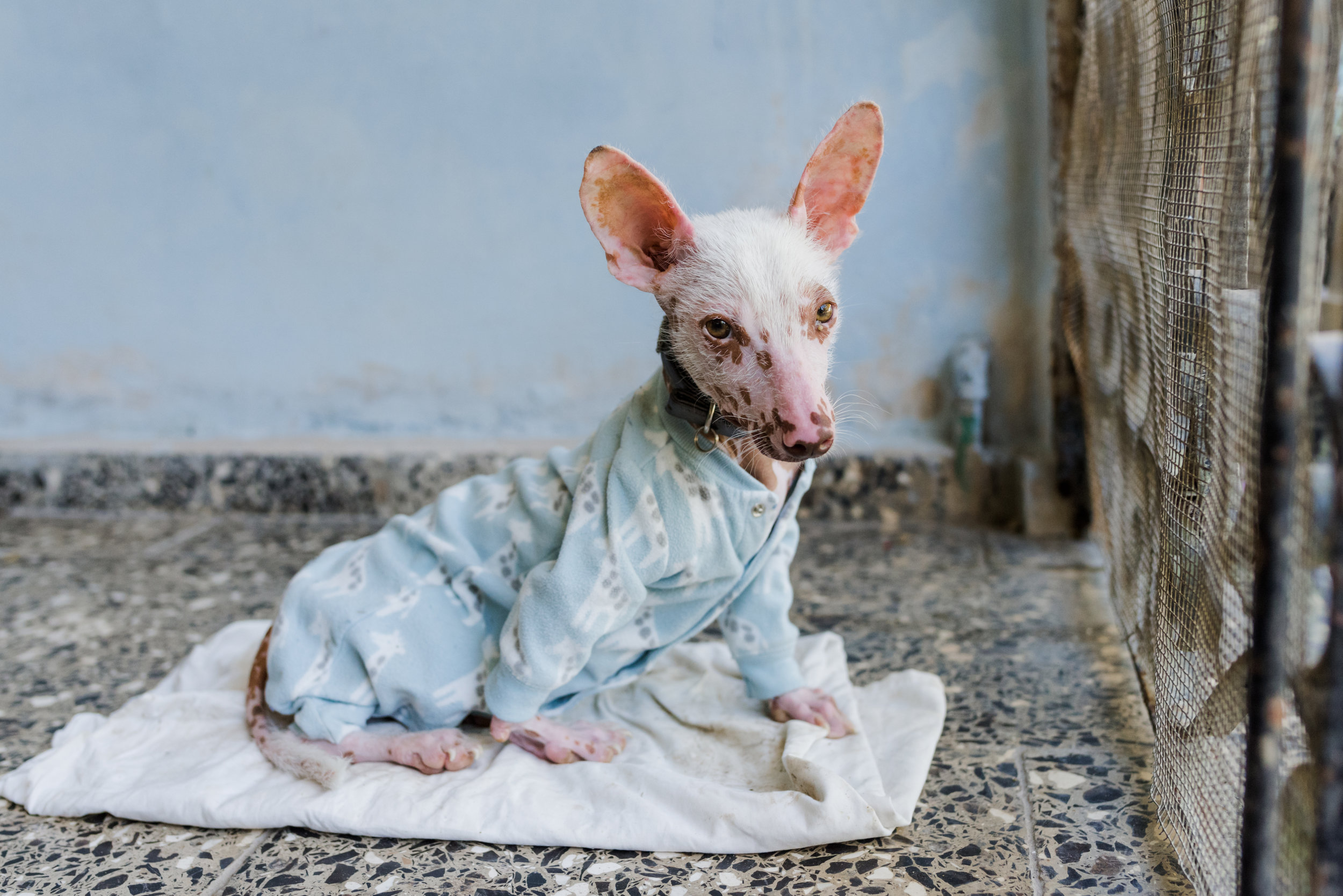 This hairless Chinese crested has to wear pajamas otherwise he will burn.