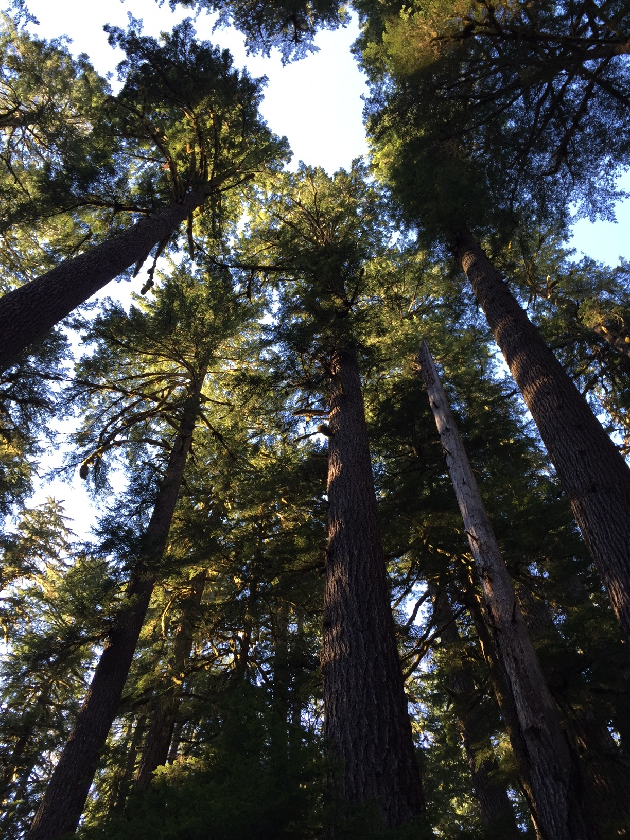Looking up in Olympic National Park 2016