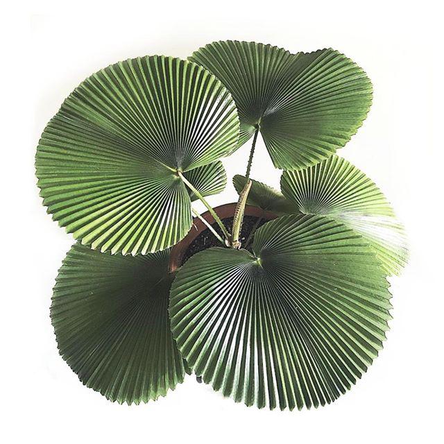 Inspiration // Mother nature, how do you do it?⠀⠀⠀⠀⠀⠀⠀⠀⠀ 📷: Pinterest #naturalbeauty #ruffledfanpalm⠀⠀⠀⠀⠀⠀⠀⠀⠀ ⠀⠀⠀ ⠀⠀⠀ ⠀⠀⠀ ⠀⠀⠀ ⠀⠀⠀ ⠀⠀⠀ ⠀⠀⠀ ⠀⠀⠀ ⠀⠀⠀ ⠀⠀⠀ ⠀⠀⠀ ⠀⠀⠀ ⠀⠀⠀ ⠀⠀⠀ ⠀⠀⠀ ⠀⠀⠀ ⠀⠀⠀ ⠀⠀⠀⠀⠀⠀⠀⠀⠀⠀⠀⠀ #plantsrule #plantcare #plants #rare #palm #plantlover #plantsmakepeoplehappy #plantlife #alwaysgrowing #justbreathe #greens #life