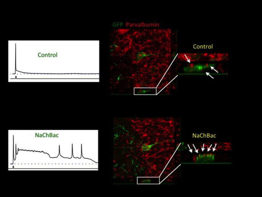 Regulation of synaptic connections by intrinsic electrical activity.    Newly-generated neurons (green) in adult mice are rendered hyperexcitable by delivering into them Nachbac, a voltage-gated sodium channel, via recombinant retroviruses. (Bottom) Genetically-enhanced excitability increases the number of inhibitory synapses (arrows) on the genetically modified neurons (green). By genetically controlling the electrical properties of neurons we investigate how neuronal activity regulates the integration of cells into brain circuits, and the connections between neurons.