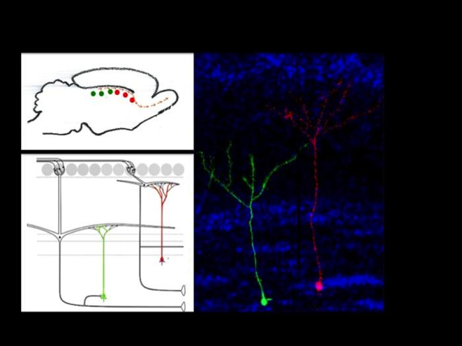 Commitment of stem cells to the production of neurons with defined connectivity.    Stem cells located in the subventricular zone (SVZ) of adult mice are committed to generate the same neuronal type (granule cells in the olfactory bulb with defined connectivity. Stem cells located in the anterior regions of the SVZ (labeled in red) produce neurons whose dendrites reach the upper layers of the olfactory bulb. In contrast, stem cells located in the posterior SVZ (labeled in green) produce neurons whose dendrites branch in the lower layers of the OB. Our laboratory is investigating the molecules that regulate the patterns of connectivity of neurons in this brain region.