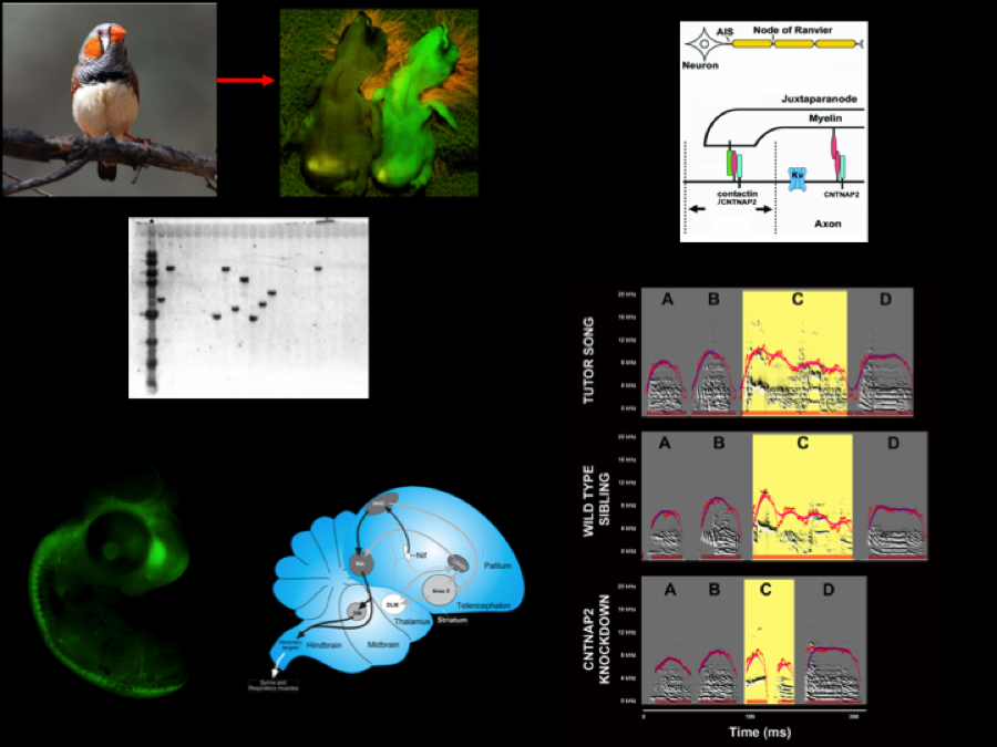 Transgenic songbirds with a targeted mutation for the autism-related gene CNTNAP2.   We have generated transgenic songbirds targeting the autism-related gene CNTNAP2 and have observed that the mutant birds fail to accurately copy their tutor's song. (Bottom right) Wild-type siblings copy the song of their fathers very accurately, but mutant birds fail to copy the parts of the song that are acoustically complex. We are investigating how perturbation of CNTNAP2 affects the assembly of brain circuits involved in learning and production of songs.