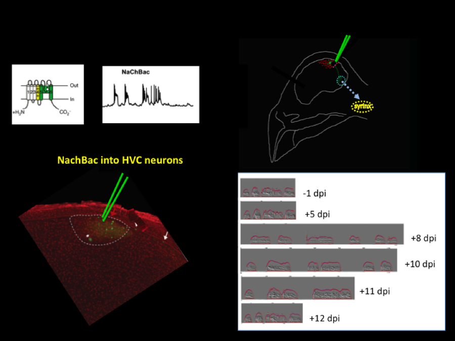 Genetic manipulation of activity and robustness of behavior.   We have observed that delivering a voltage-gated sodium channel to render neurons in the song system hyperexcitable leads to acute degradation of the song. Surprisingly, the song structure recovers very quickly (within 10 days) after the genetic manipulations. We are currently investigating the mechanisms responsible for this recovery.