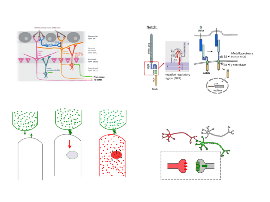 A new genetic method to identify connectivity between neurons.   We have designed a new genetic strategy to identify the wiring diagram of brain circuits. The system is based on the logic of the delta-notch system and it will allows not only to trace connections between neurons, but also to genetically modify the physiological properties of circuits of connected neurons.