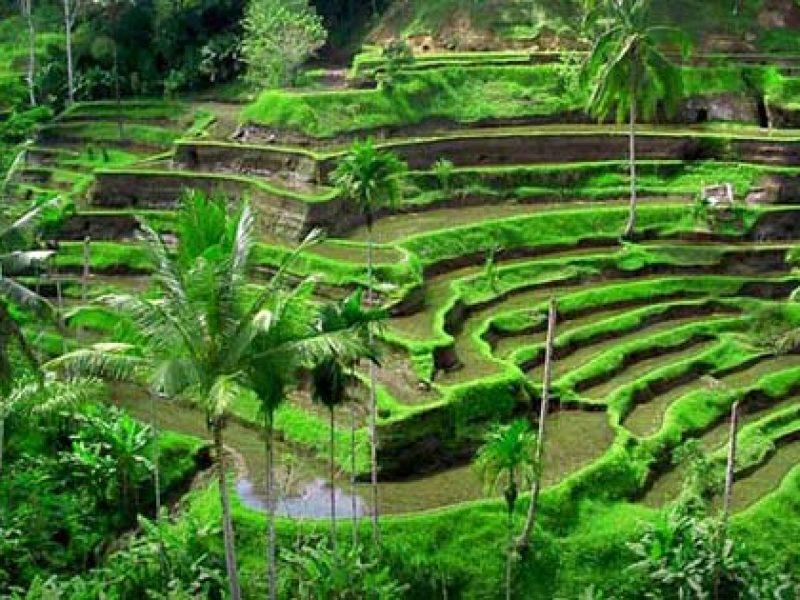 Sawah-Terasering-Tegalalang-Ubud-800x600.jpg