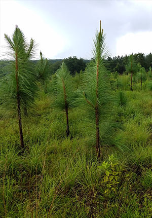 Reforestation Management