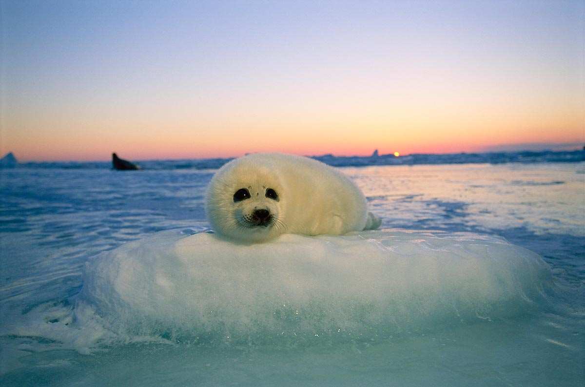 A white harp seal pup on a block of ice / Photo: Brian Skerry.