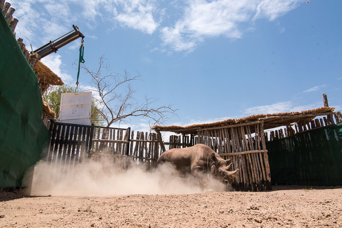 A black rhino being released into Zakouma National Park / Photo: Kyle de Nobrega