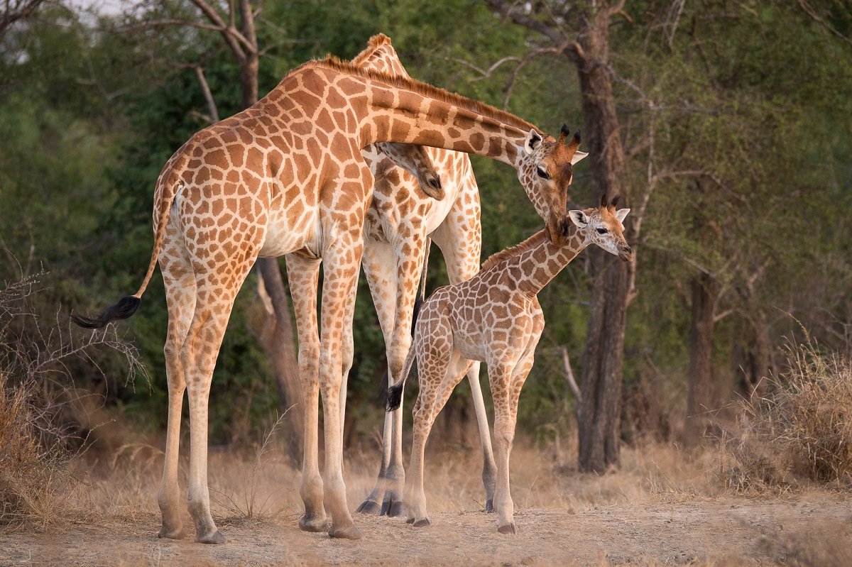 The Zakouma National Park is home to 50% of the remaining subspecies of giraffe / Photo: Kyle de Nobreaga.