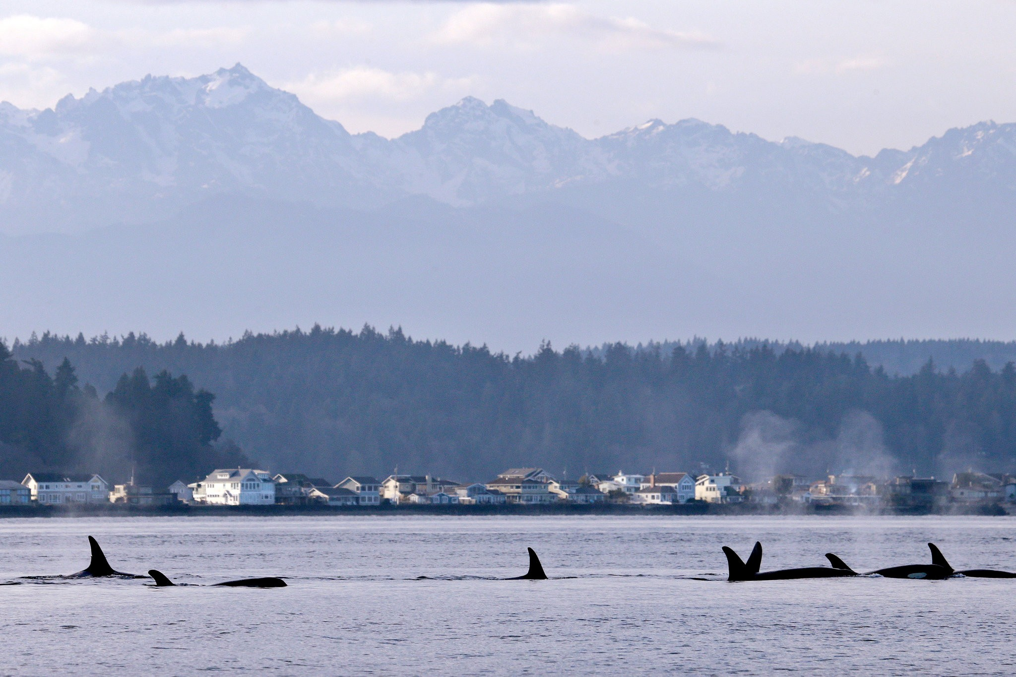 Orcas from a pod in Puget Sound, west of Seattle / Photo: Elaine Thompson/Associated Press.