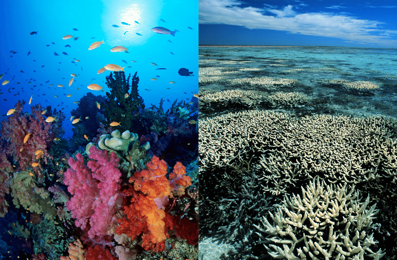 A healthy portion of the Great Barrier Reef (left), compared to a bleached portion (right) / Photos: Gary Bell / Oceanwideimages.com (L) / Greenpeace / Roger Grace (R).