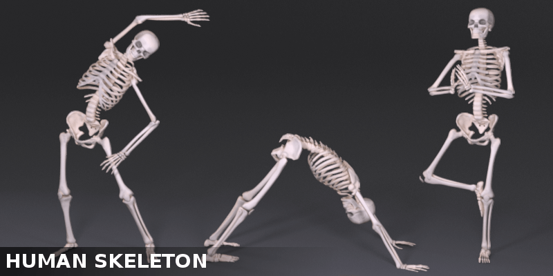 Photo: https://www.blendermarket.com/products/anatomically-based-human-skeleton-xms