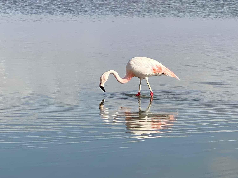 pink flamingoes Atacama Desert Chile