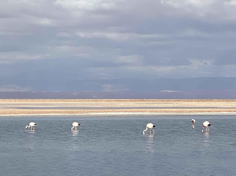 pink flamingos atacama desert salt flats chile