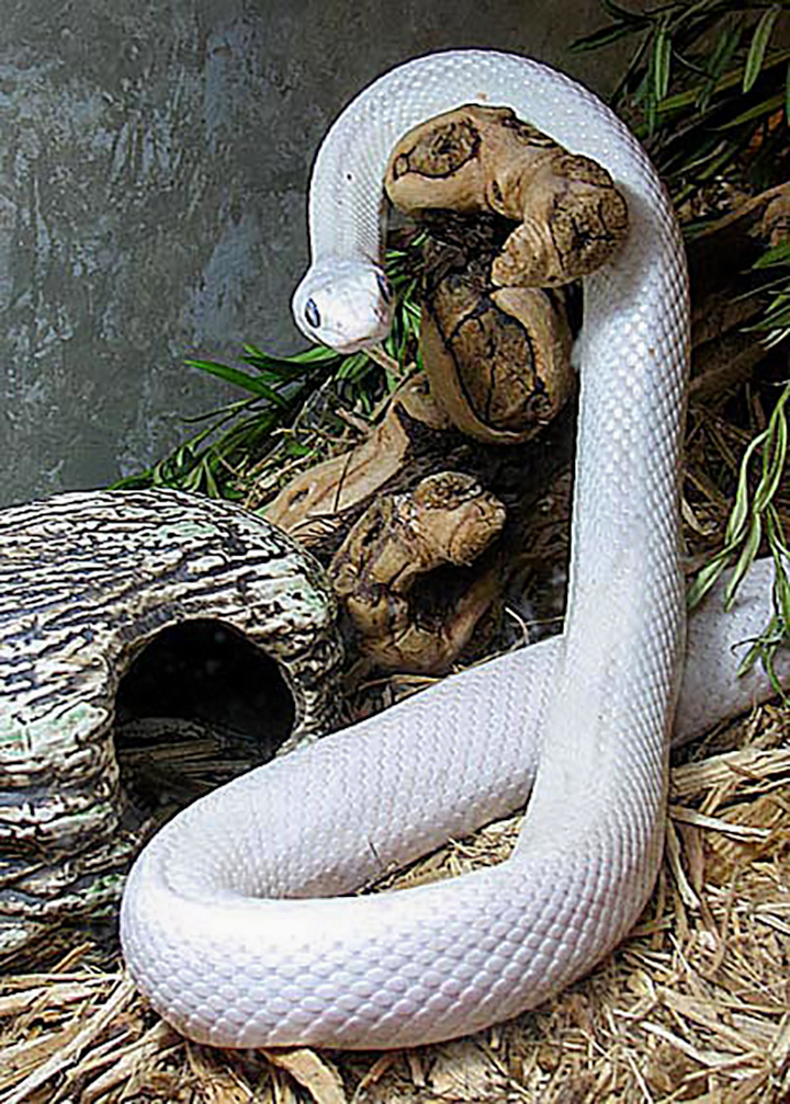 Meet Blanco, our Ambassador Leuscistic Rat Snake.