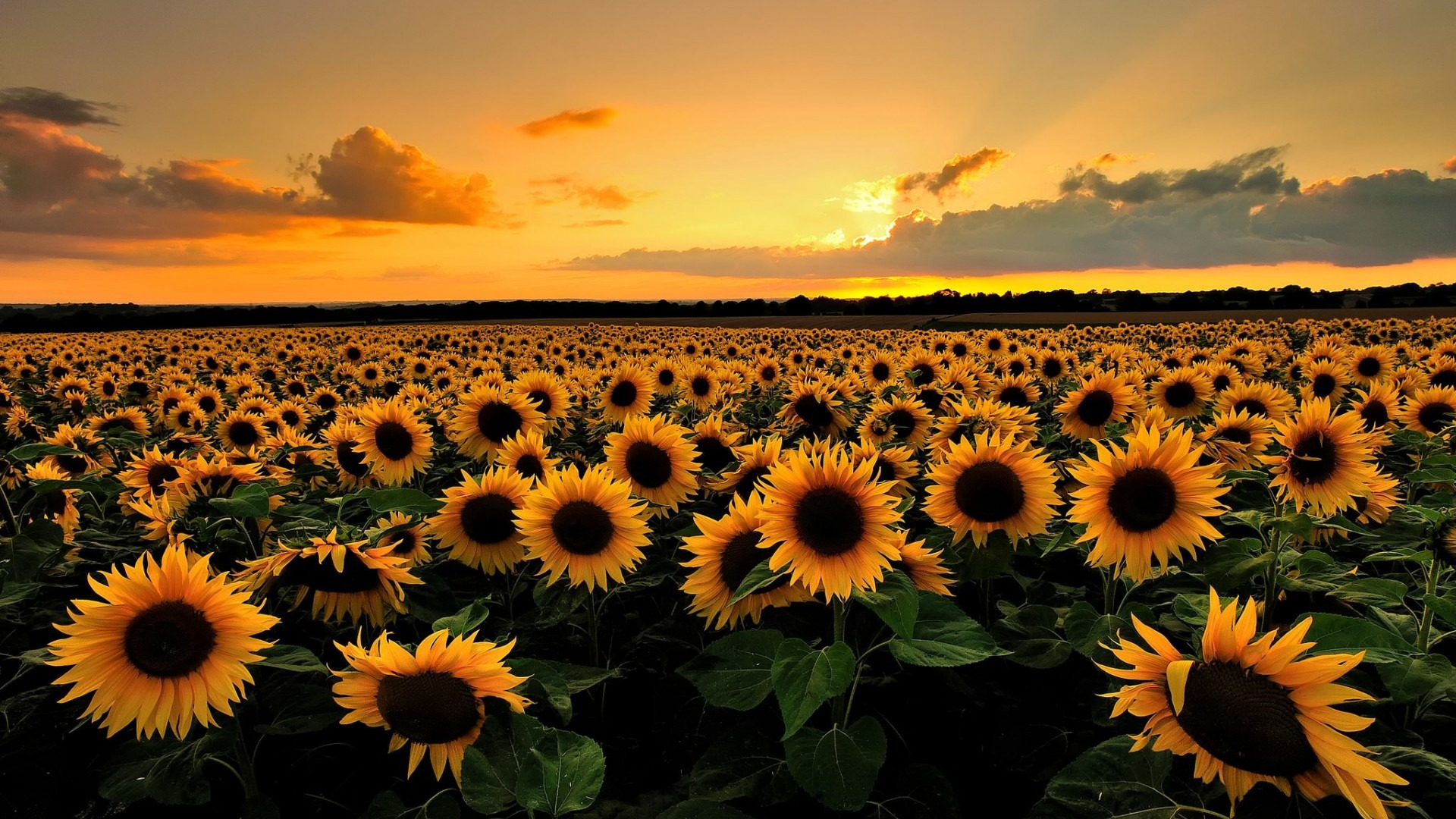 6776626-beautiful-sunflower-field-wallpaper.jpg