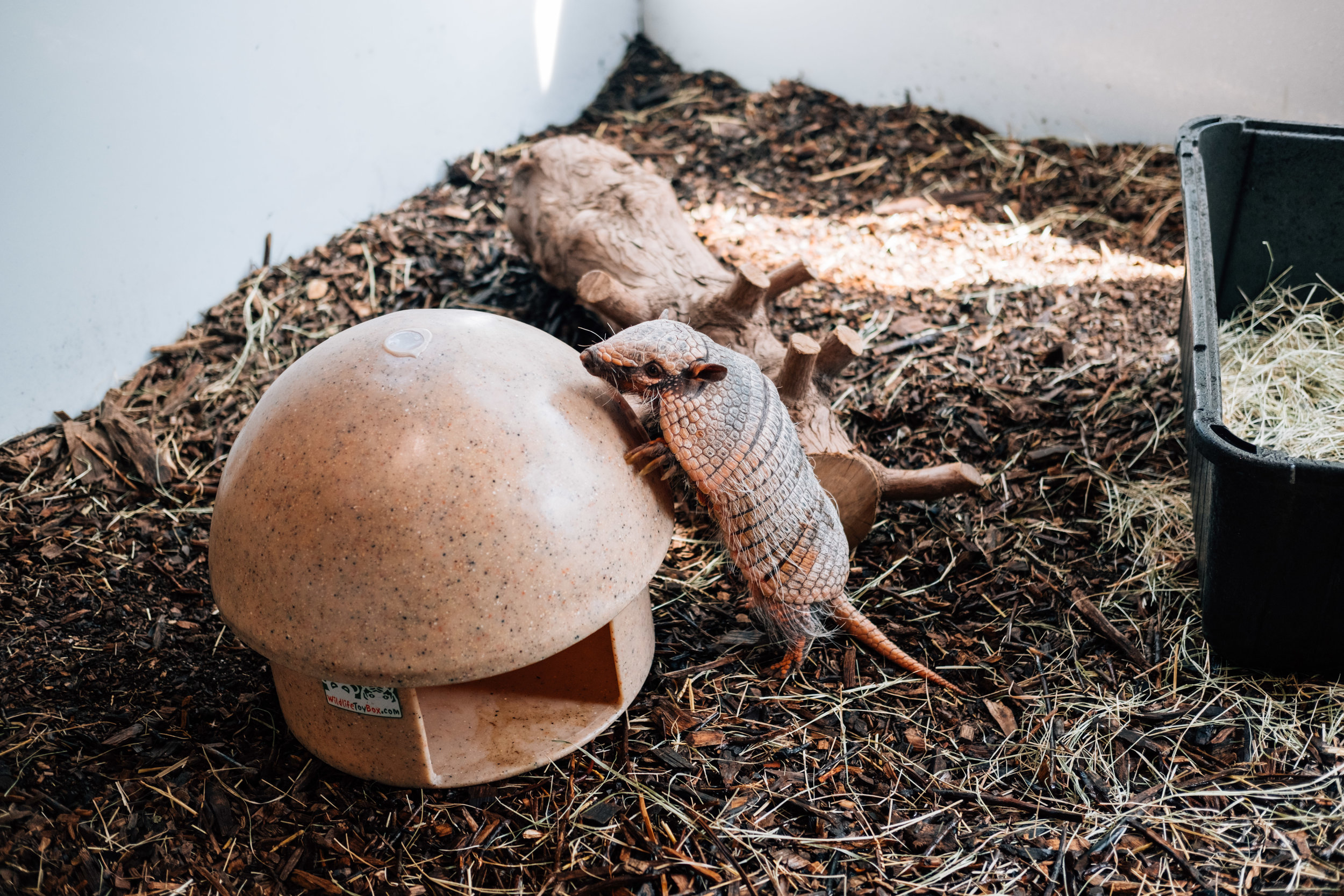 Chaco, the six-banded armadillo.