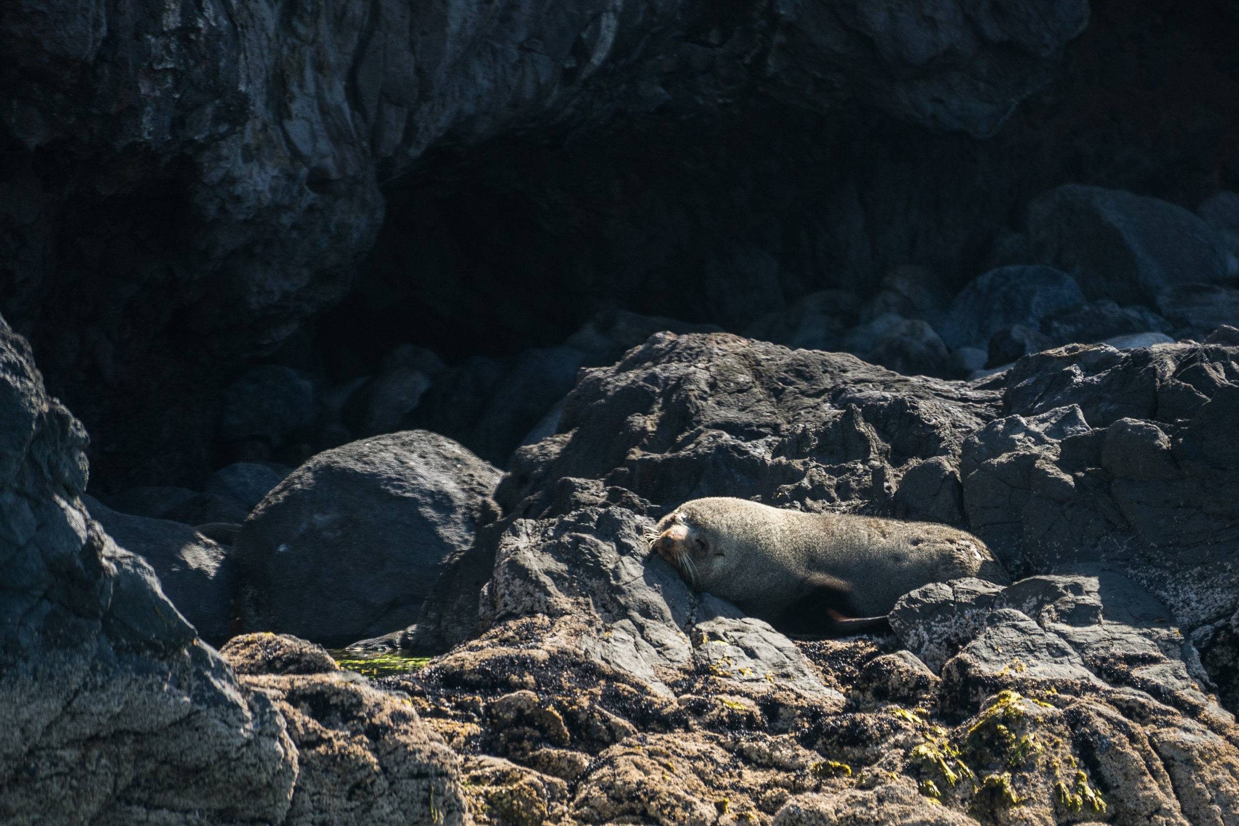 New Zealand Fur Seal.