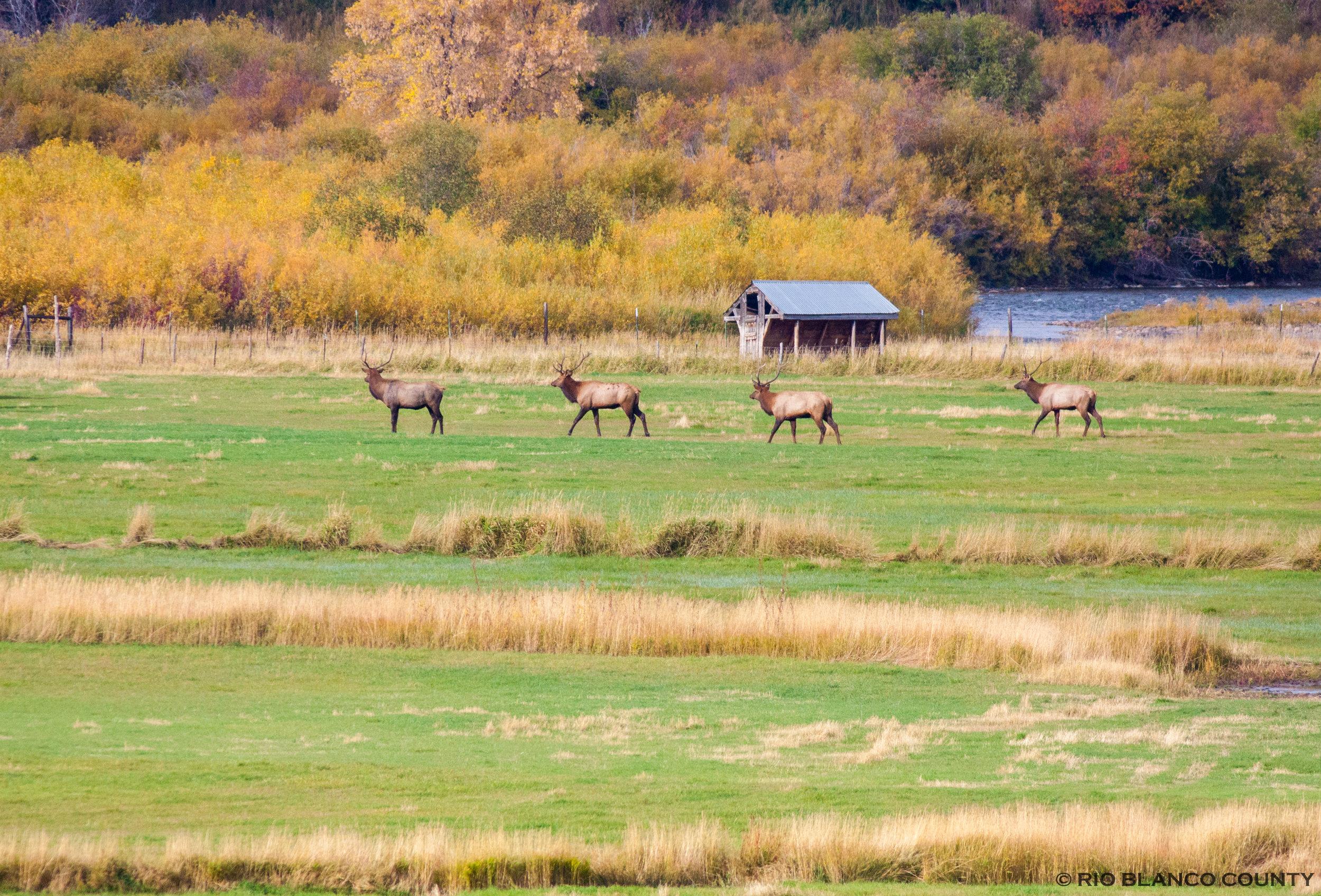 Elk Herd 5.jpg