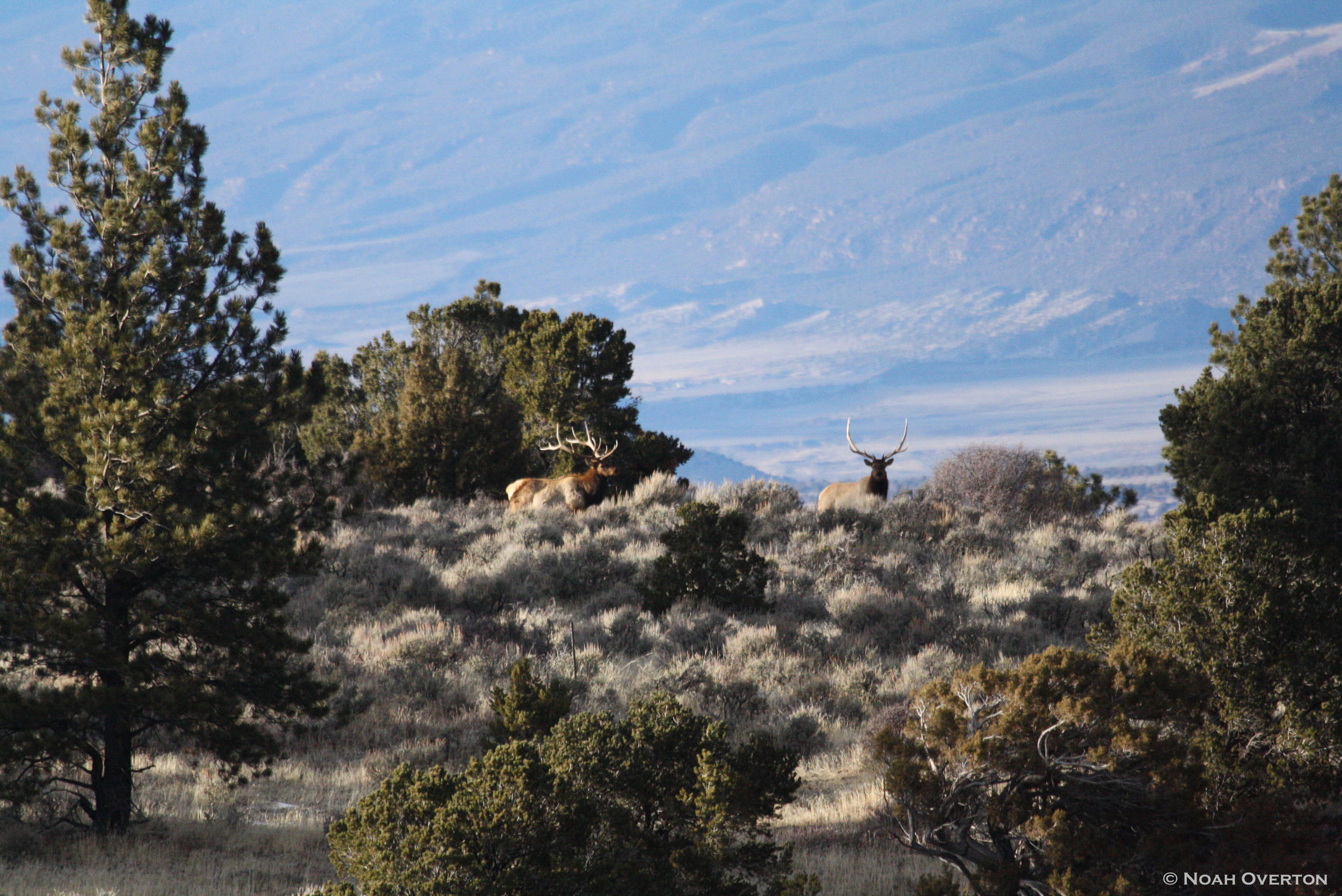 Bull Elk on Ridge Noah Overton.jpg