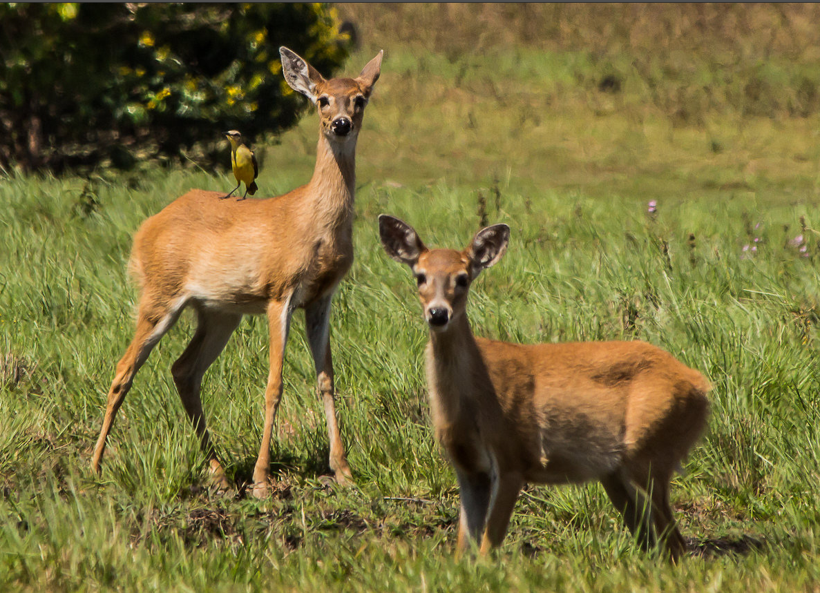 In Colombia, the white-tailed deer (Odocoileus virginianus) inhabits páramos, savannahs, forest edges and other places with open vegetation.