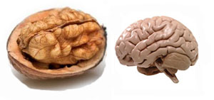 walnut-brain.jpg