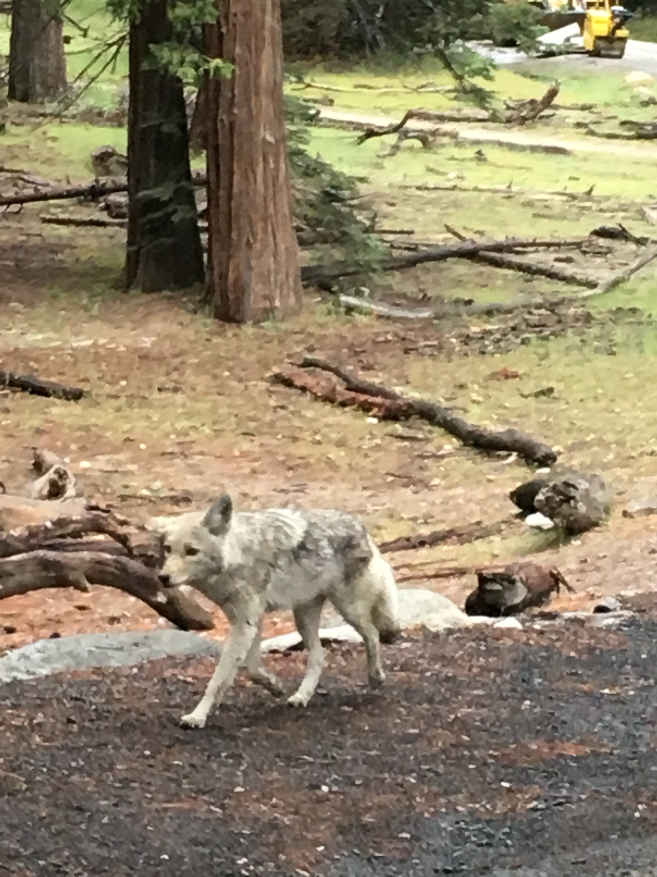 Coyote going for a stroll in Yosemite National Park