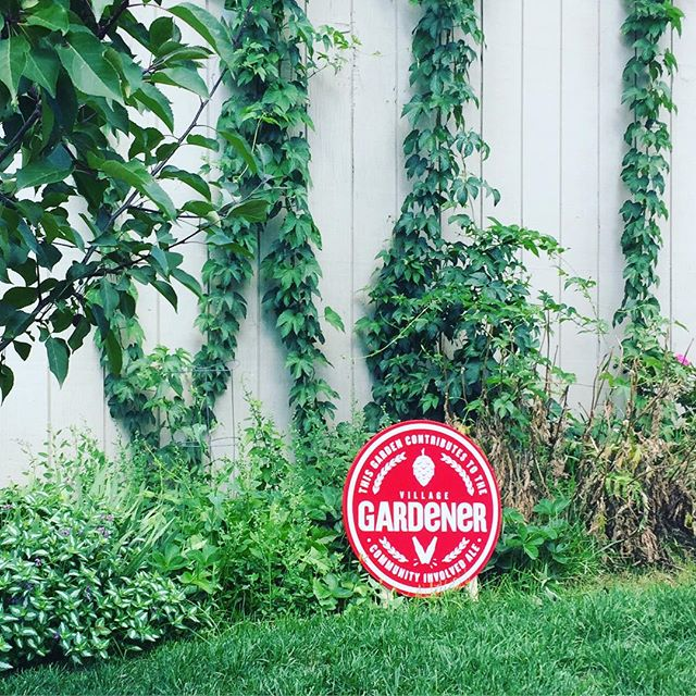 Did you know we grow hops every year at the Hall as part of Village Brewery's community-involved ale?