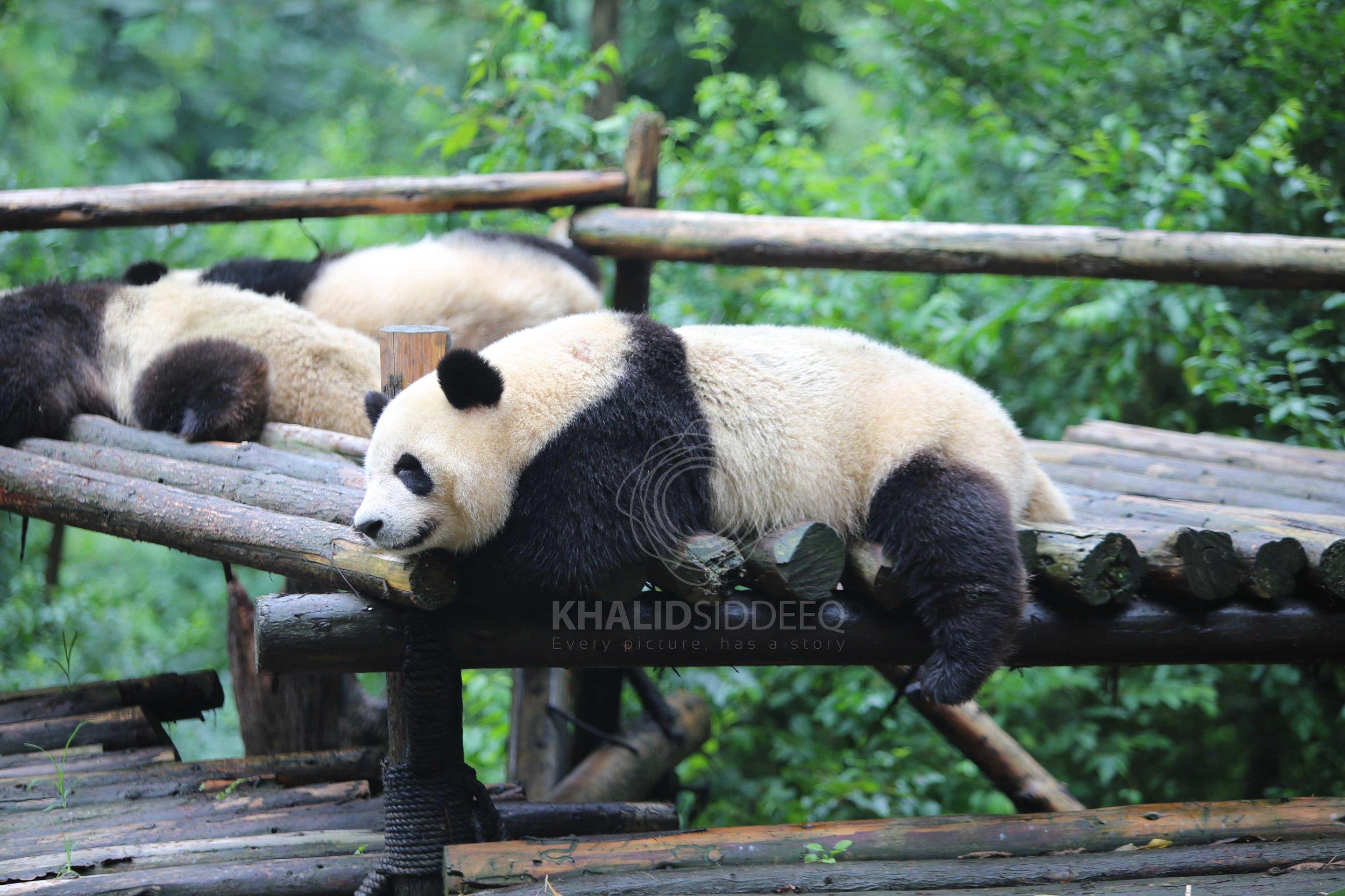 حيوان الباندا وهو نائم في مقر اقامته