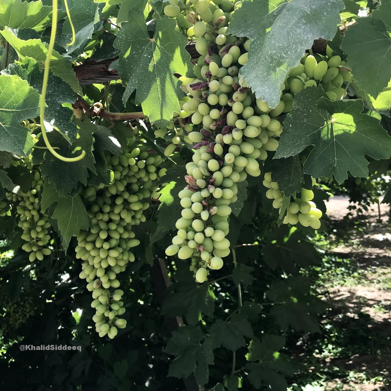 ثمار العنب الطيب في توربان