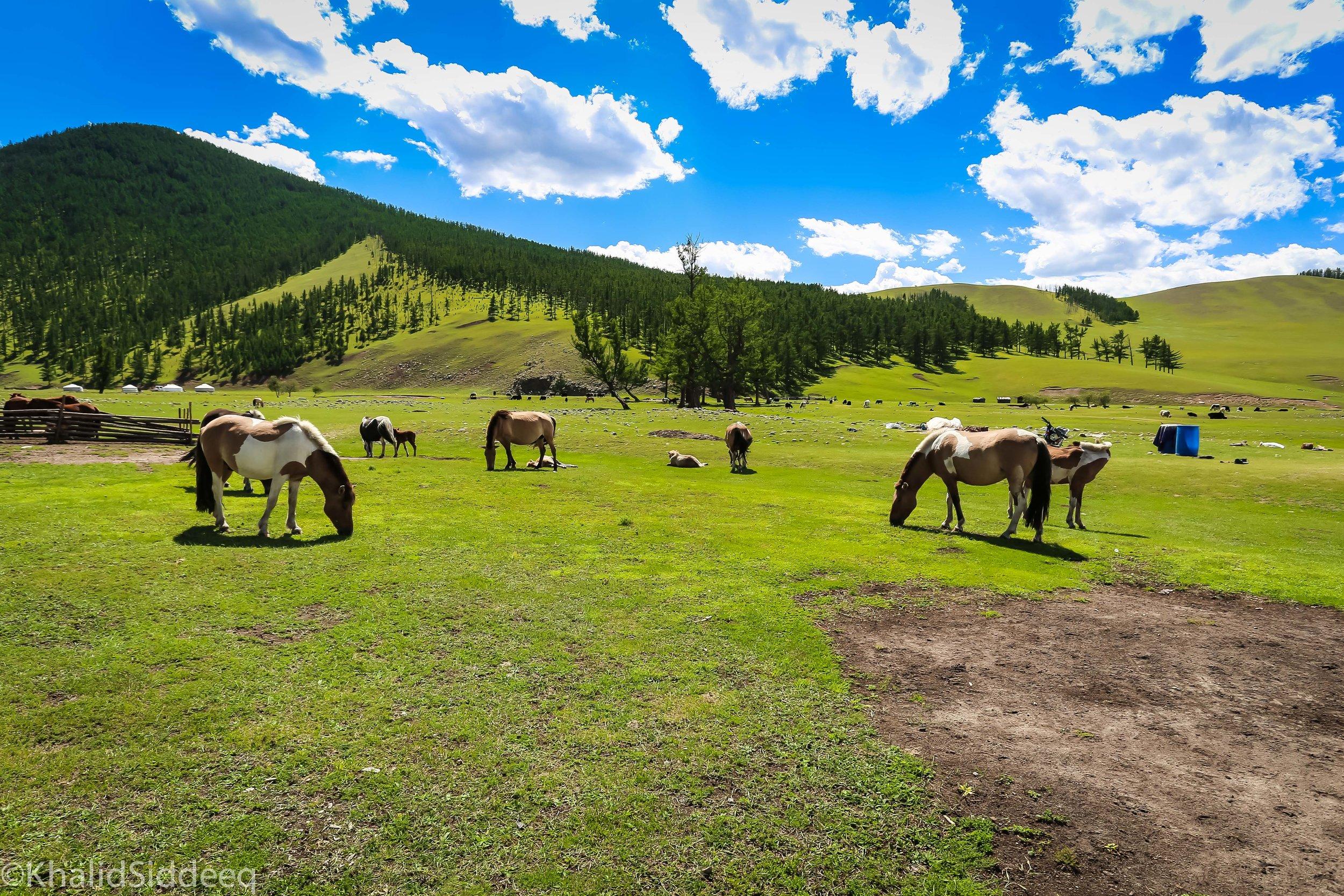 خيولهم شرسة - كما هو تاريخهم مليئ بالأحداث الشرسة الدامية، فإن خيولهم كذلك أيضاً، تعرف بقصر قامتها، وبأنها هي من تتولى زمام الأمور وليس من يمتطيها، كنت أرى خيولهم مزاجية، وسريعة الغضب.