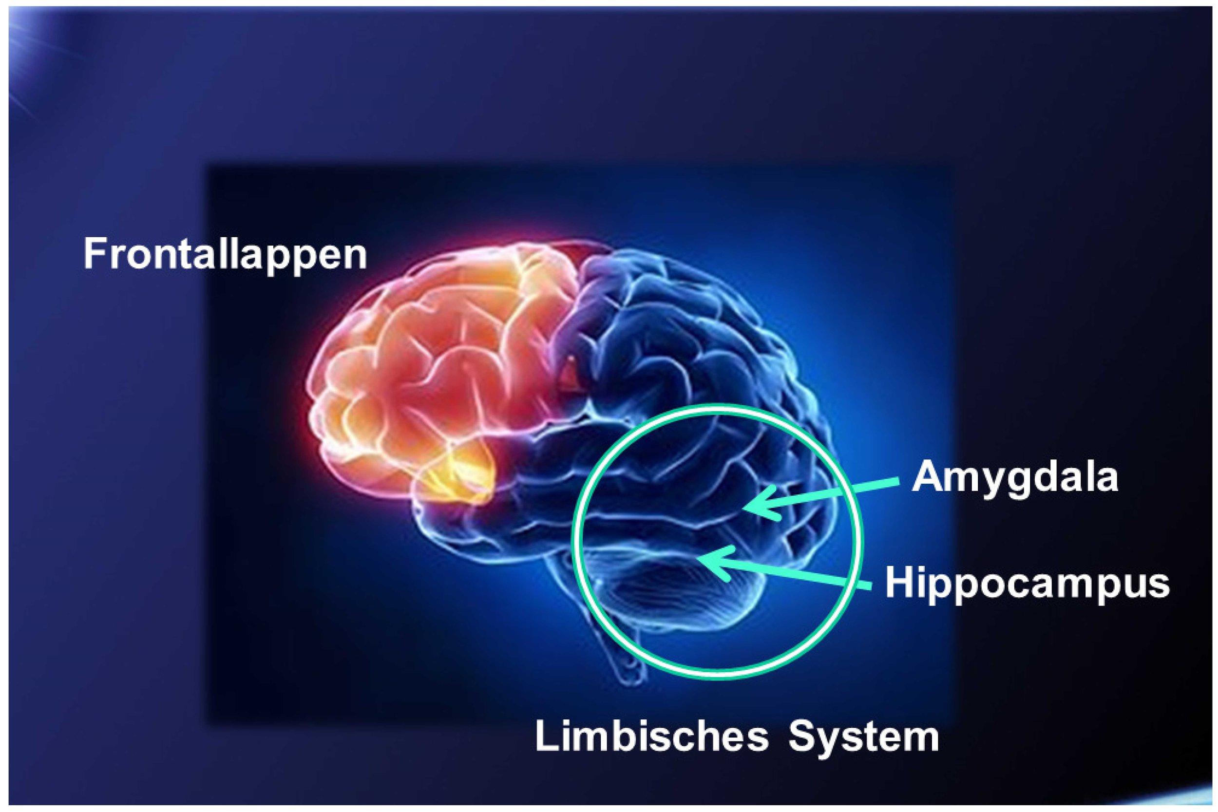 """Amygdala steht für Angstzentrum, Hippocampus ist die Schaltstelle im Limbischen System, welches der Verarbeitung von Emotionen und der Entstehung unseres Triebverhaltens dient und wo die Endorphine (Glückshormone) ausgeschüttet werden.     Der Frontallappen gilt allgemein als Sitz der Persönlichkeit und des Sozialverhaltens. Er wird auch manchmal das """"Organ der Zivilisation"""" genannt. Dort ist die Moral, das Gewissen, die Entscheidungskraft und der Wille gespeichert, respektive wird dort entwickelt. Dieser Teil steht in starker Wechselbeziehung mit dem Limbischen System."""