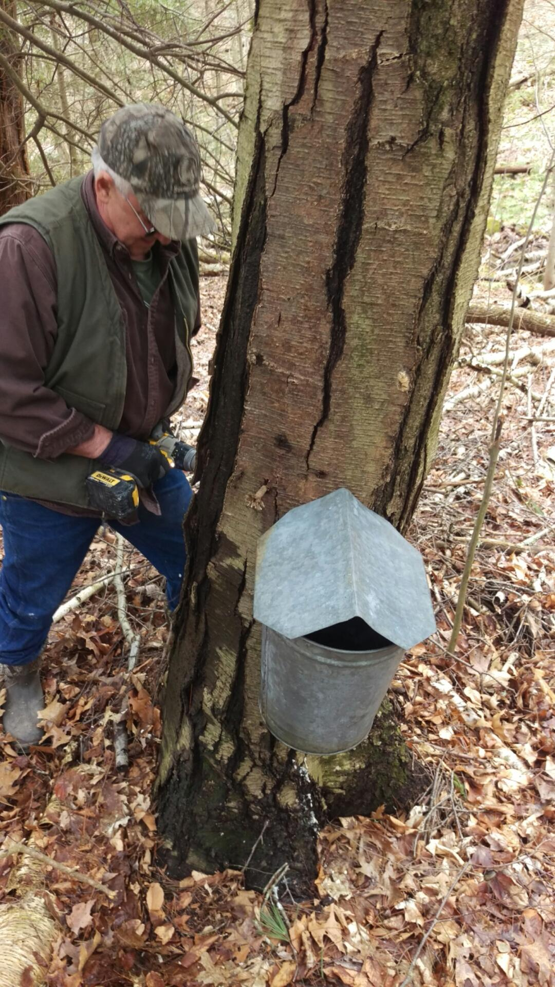 Randy Noble taps a black birch tree.