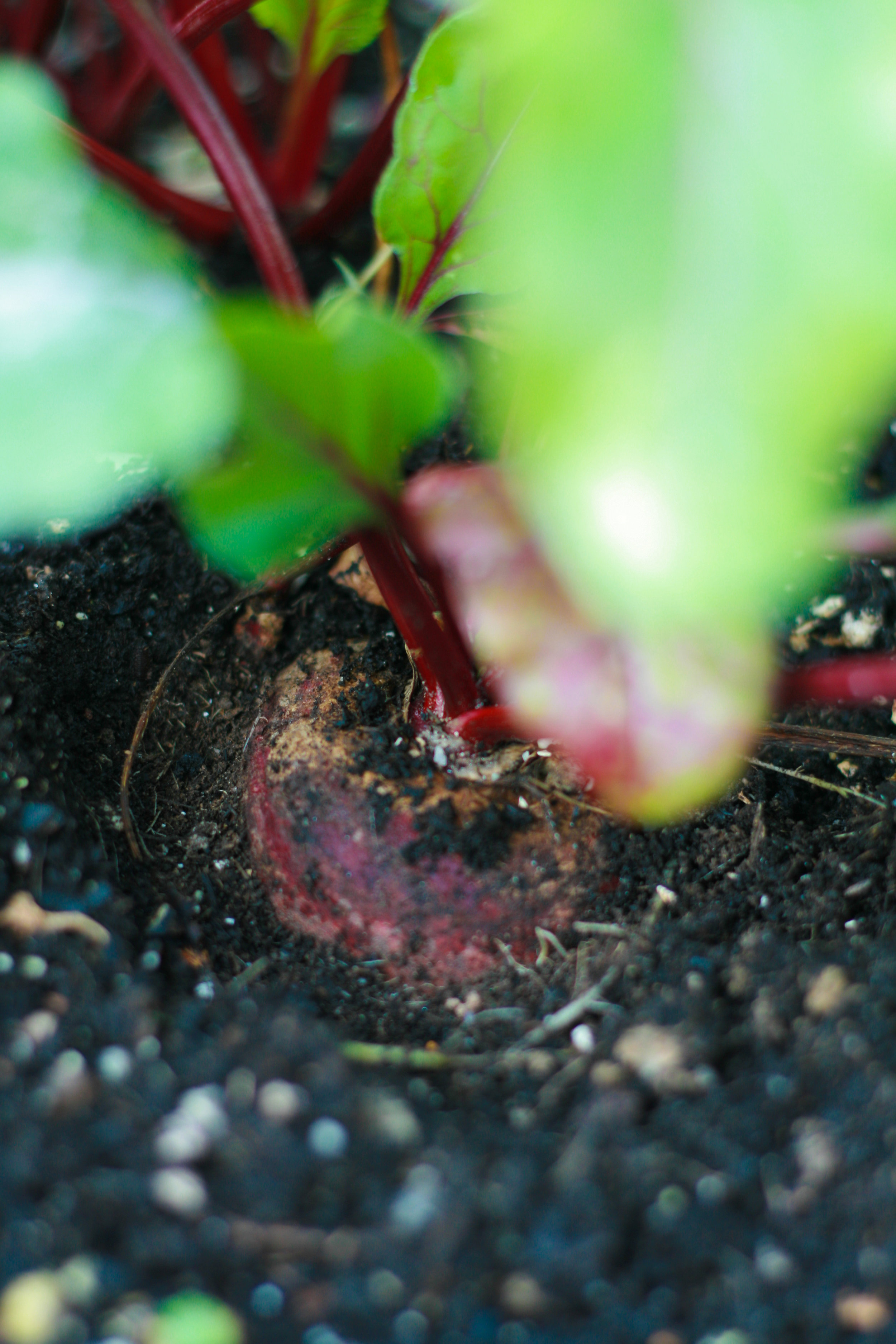 This gorgeous beet is ready to go in my morning vegetable juice for vitamins and minerals!