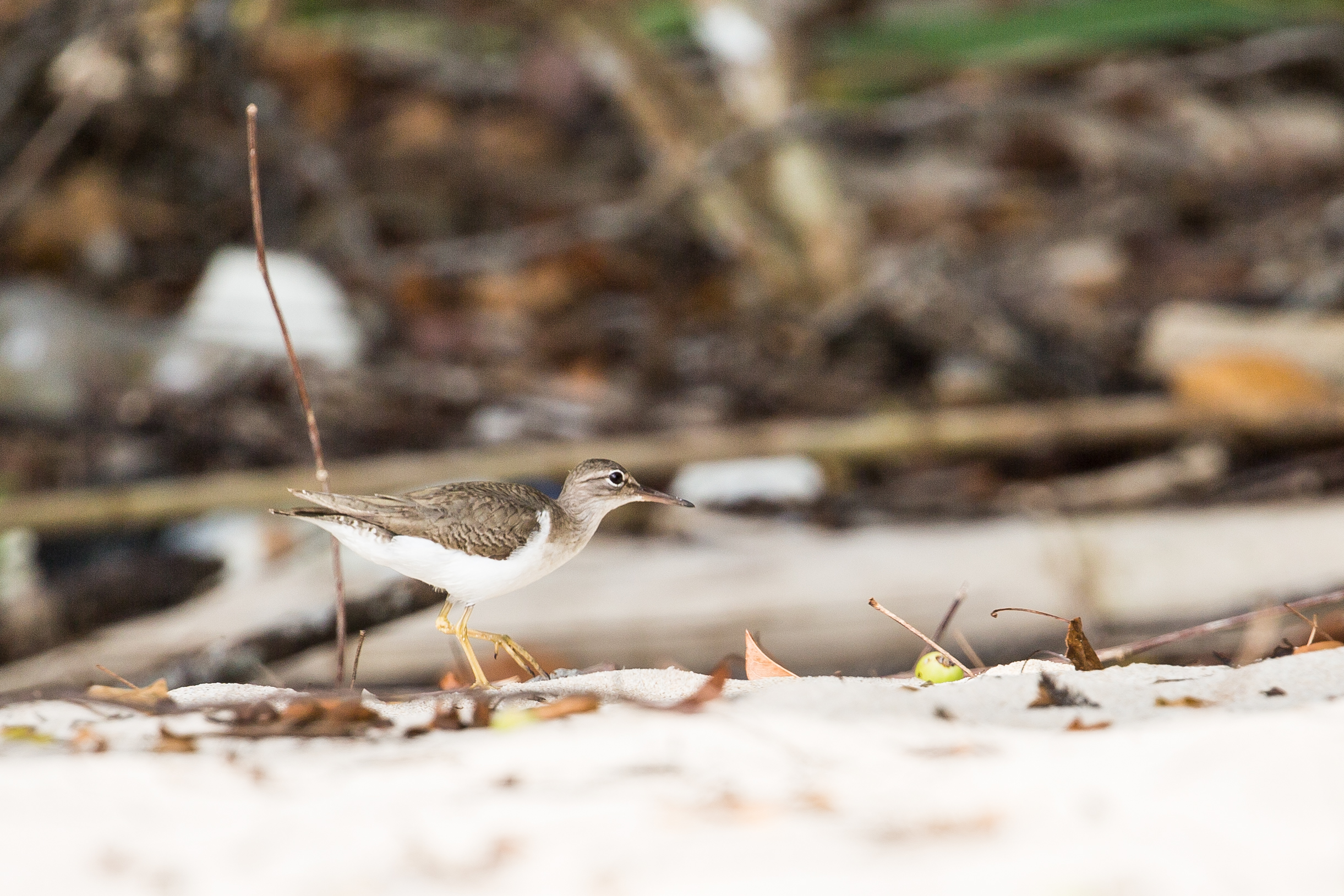 Hard to identify but we think it's a Solitary sandpiper - Isla Chapera