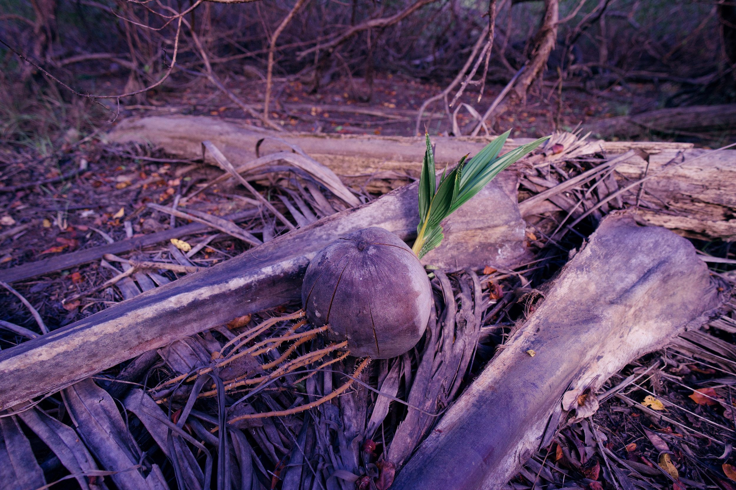 An uprooted coconut that was starting to grow